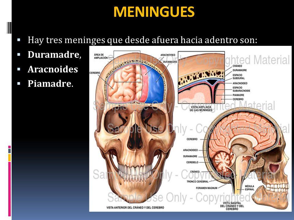 MENINGUES Hay tres meninges que desde afuera hacia adentro son: