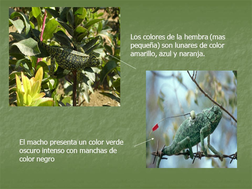 Los colores de la hembra (mas pequeña) son lunares de color amarillo, azul y naranja.
