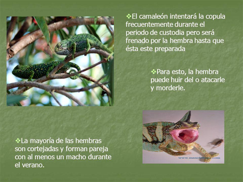 El camaleón intentará la copula frecuentemente durante el periodo de custodia pero será frenado por la hembra hasta que ésta este preparada