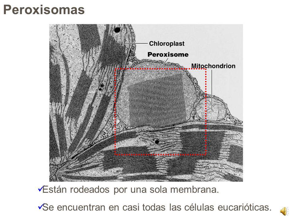 Peroxisomas Están rodeados por una sola membrana.