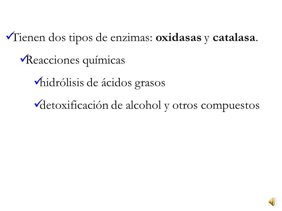 Tienen dos tipos de enzimas: oxidasas y catalasa.