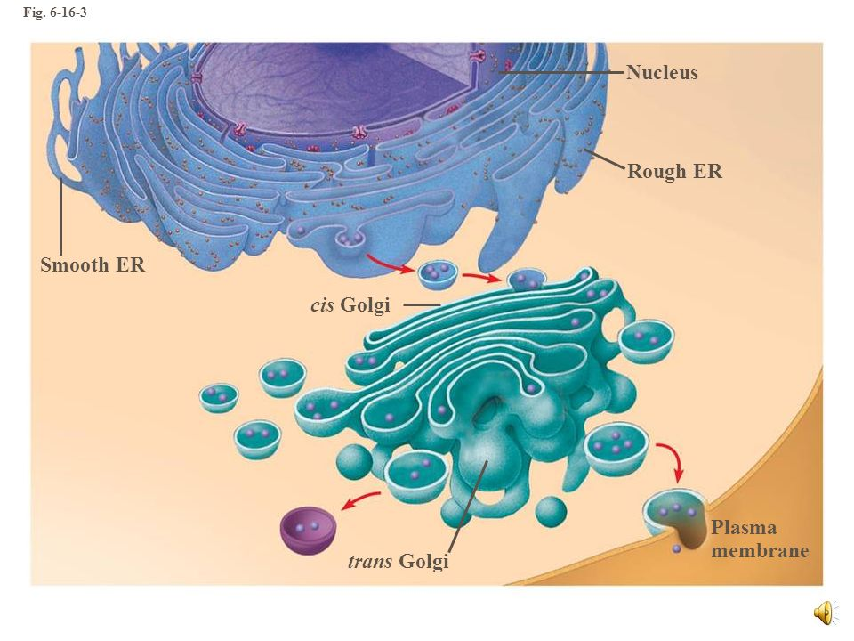 Nucleus Rough ER Smooth ER cis Golgi Plasma membrane trans Golgi