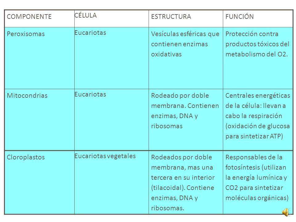 COMPONENTE CÉLULA. ESTRUCTURA. FUNCIÓN. Peroxisomas. Eucariotas. Vesículas esféricas que contienen enzimas oxidativas.