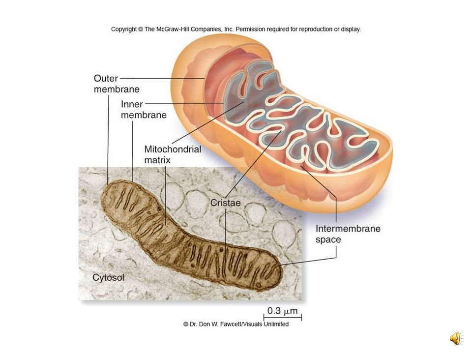Figure 6.17 The mitochondrion, site of cellular respiration
