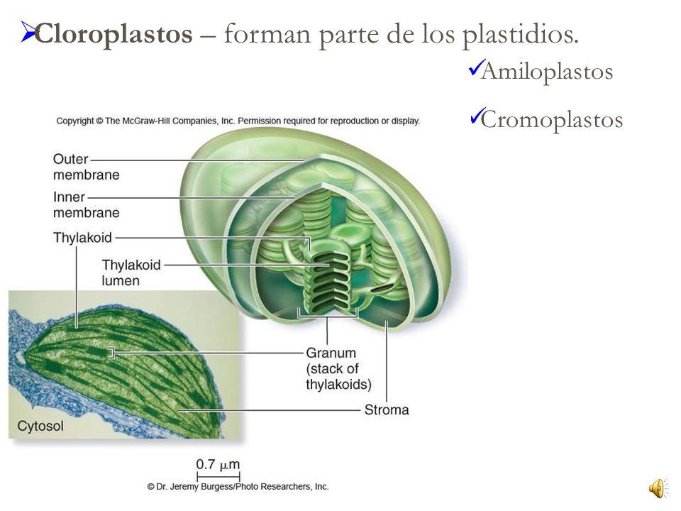 Cloroplastos – forman parte de los plastidios.