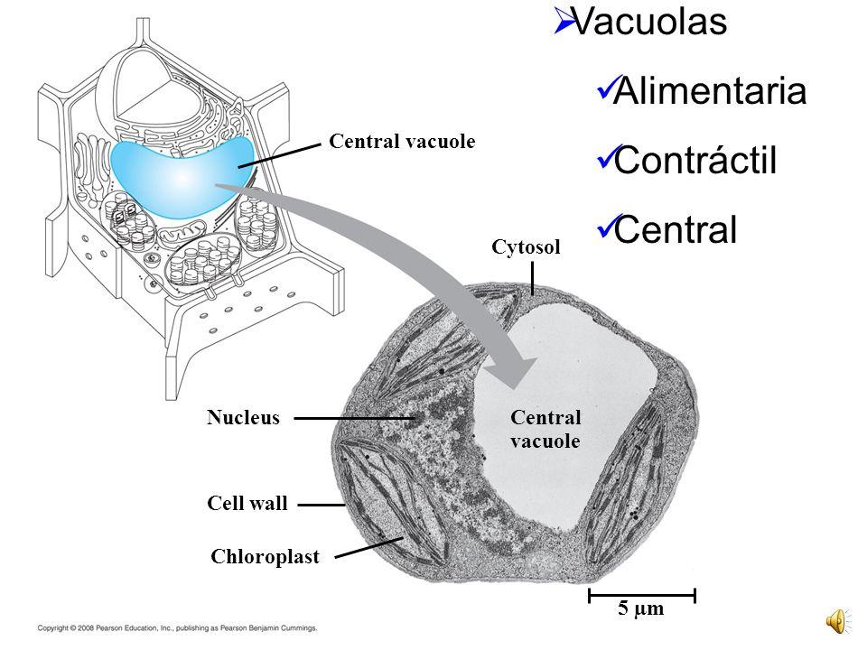 Vacuolas Alimentaria Contráctil Central Central vacuole Cytosol
