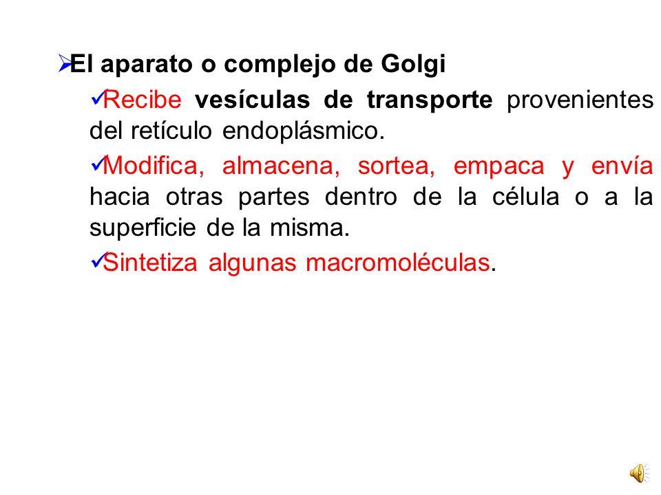 El aparato o complejo de Golgi
