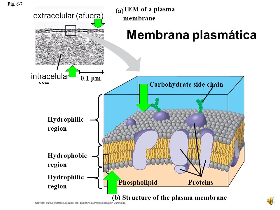 Membrana plasmática extracelular (afuera) intracelular Outside of cell