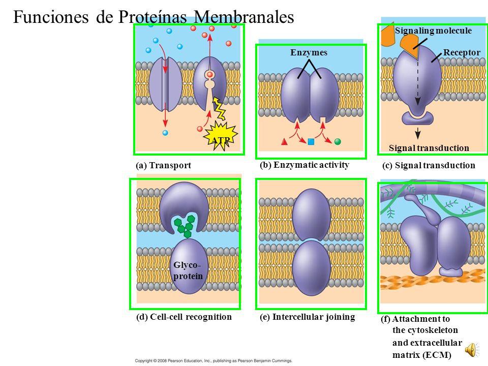 Funciones de Proteínas Membranales