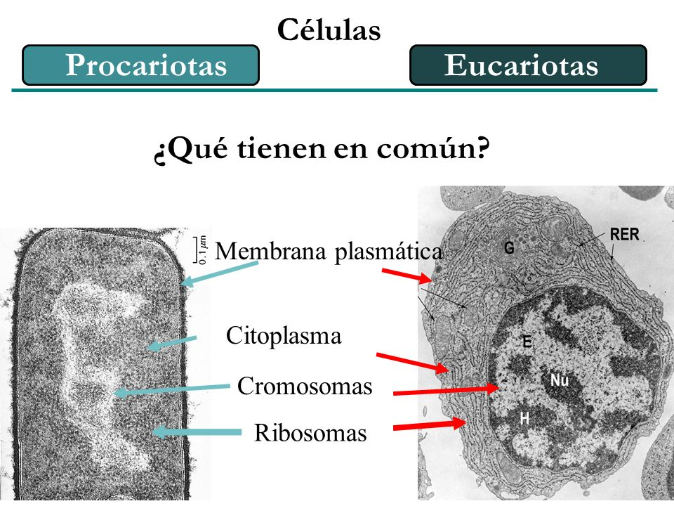 Células Procariotas Eucariotas ¿Qué tienen en común