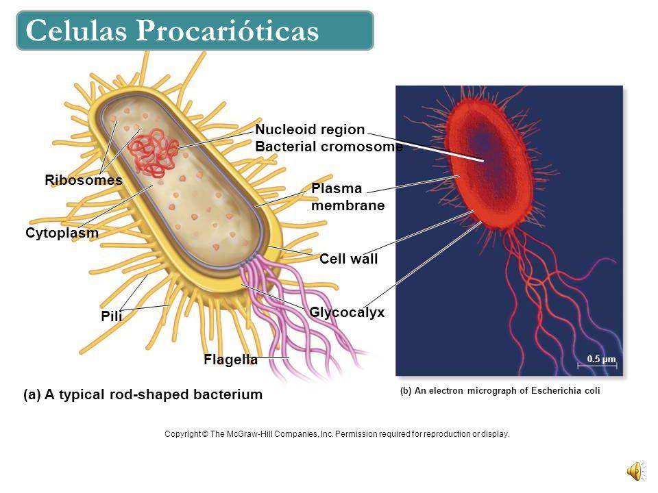 Celulas Procarióticas