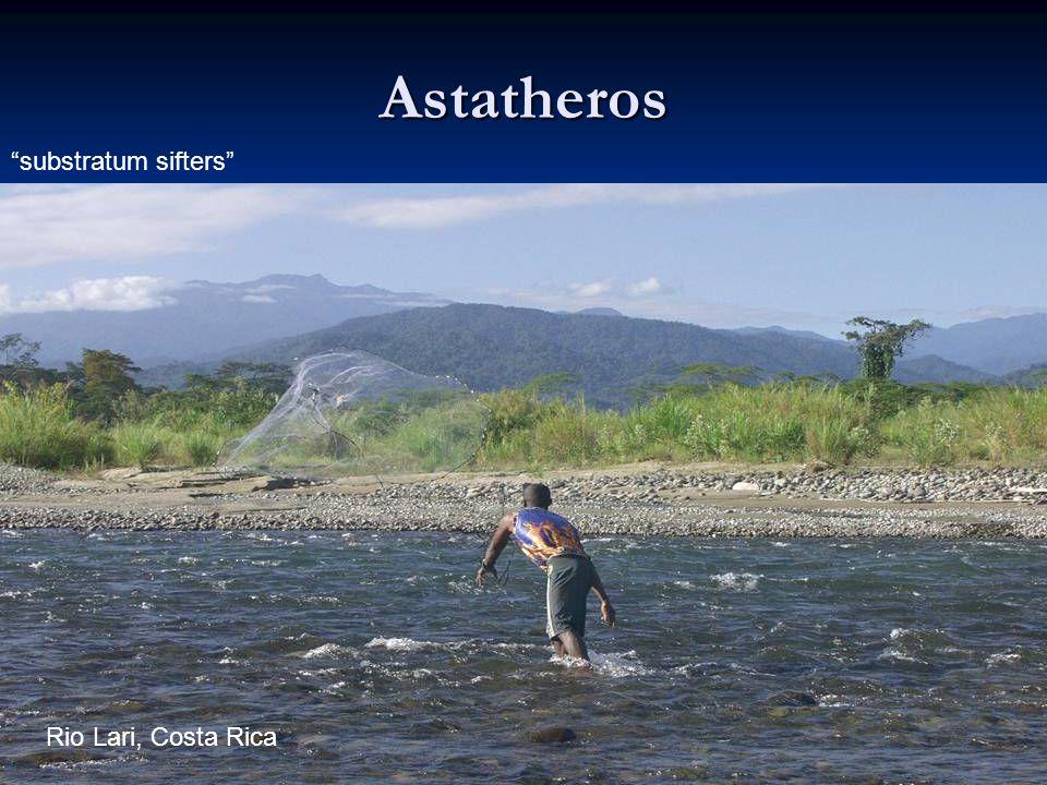 Astatheros substratum sifters Rio Lari, Costa Rica