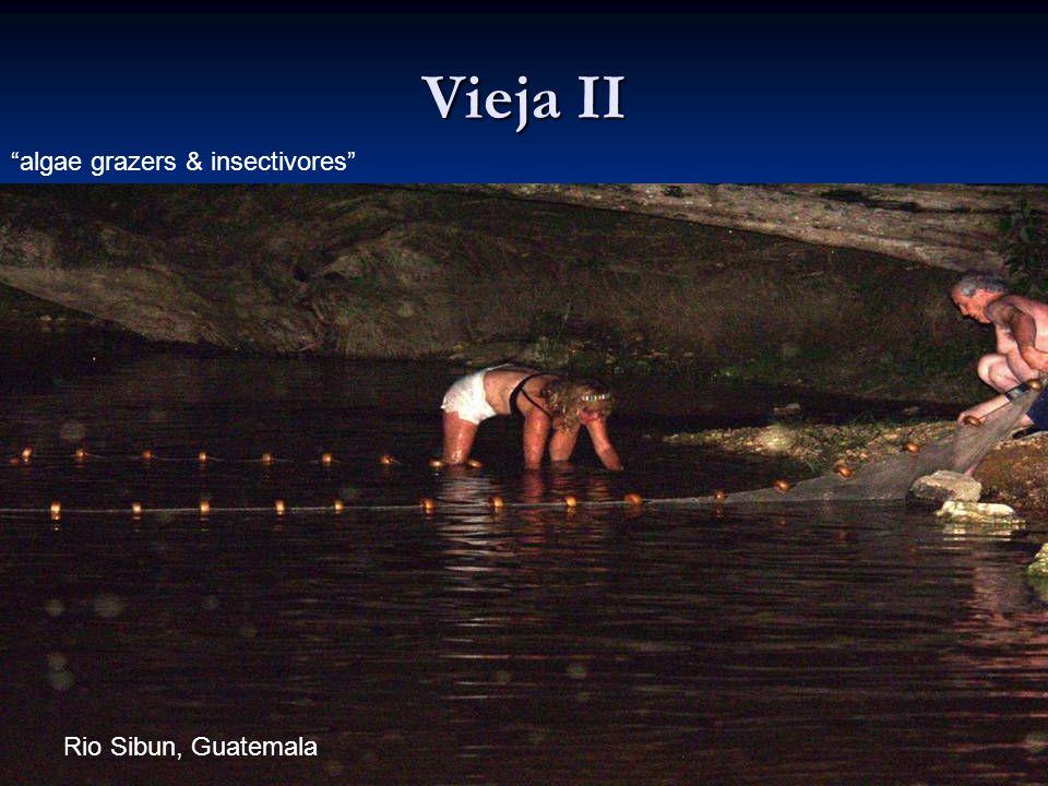 Vieja II algae grazers & insectivores Rio Sibun, Guatemala