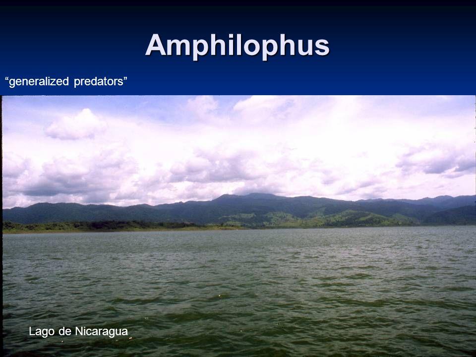 Amphilophus generalized predators Lago de Nicaragua