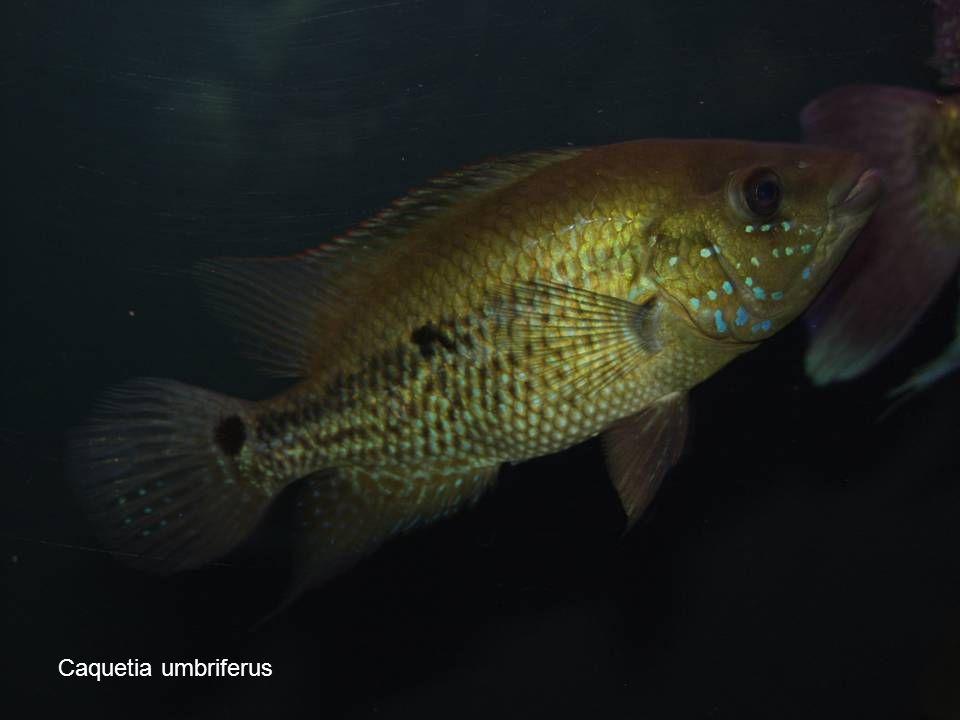 Caquetia umbriferus