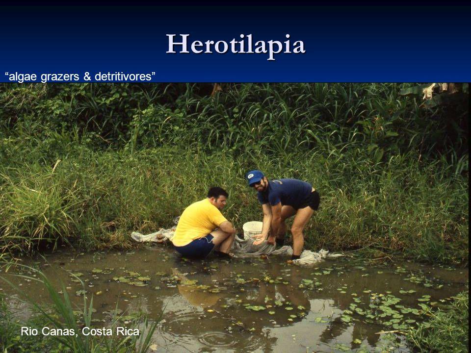 Herotilapia algae grazers & detritivores Rio Canas, Costa Rica