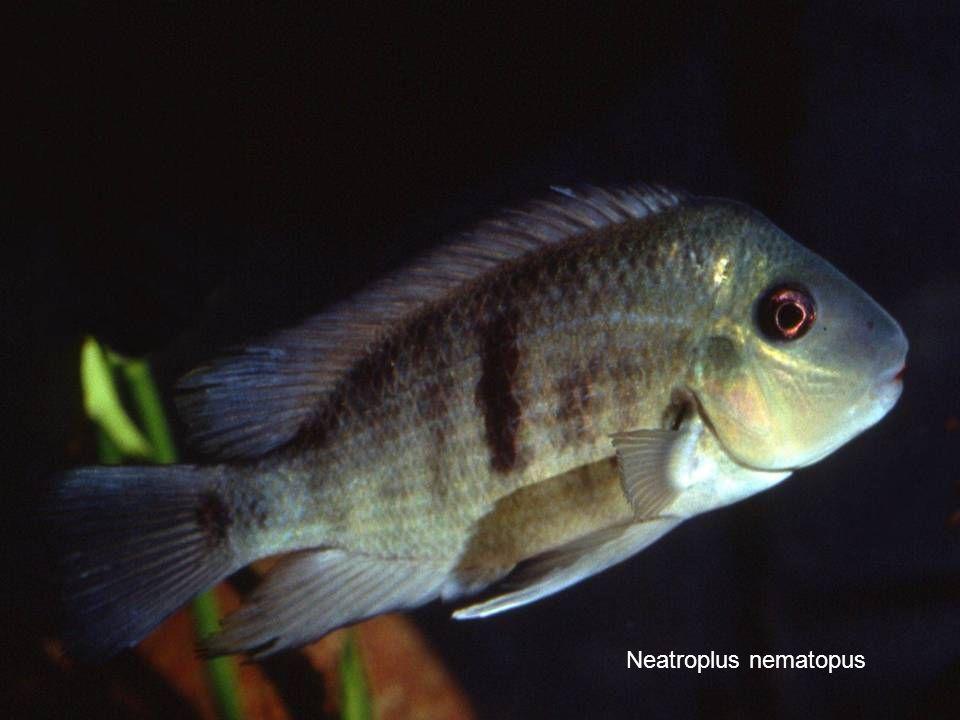 Neatroplus nematopus