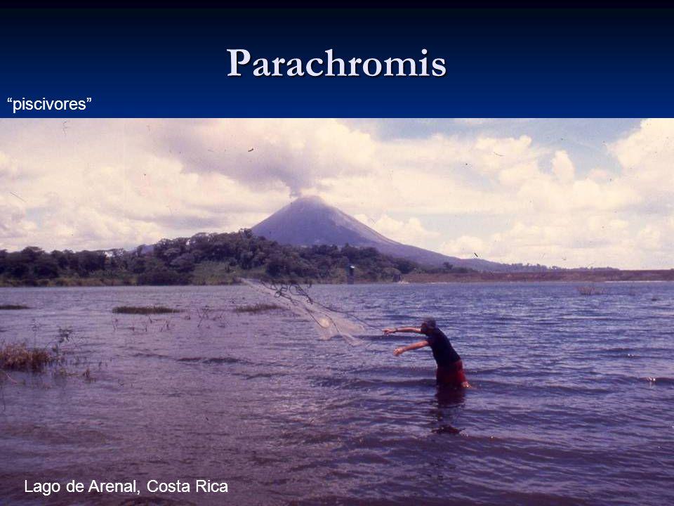 Parachromis piscivores Lago de Arenal, Costa Rica