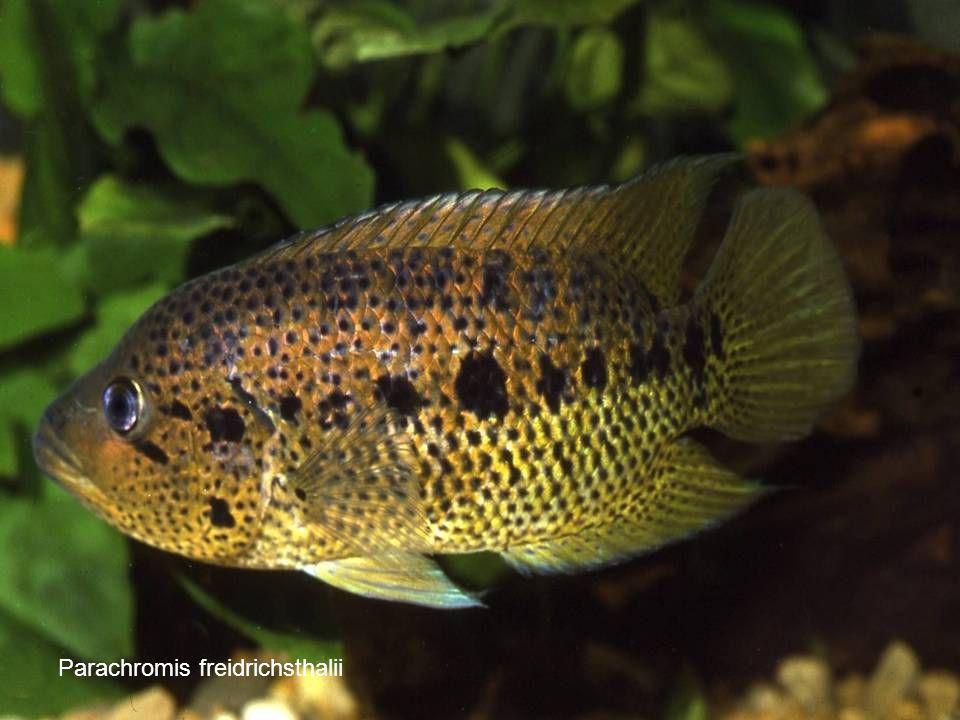 Parachromis freidrichsthalii