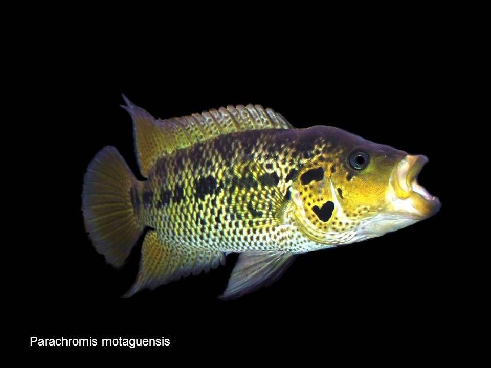 Parachromis motaguensis