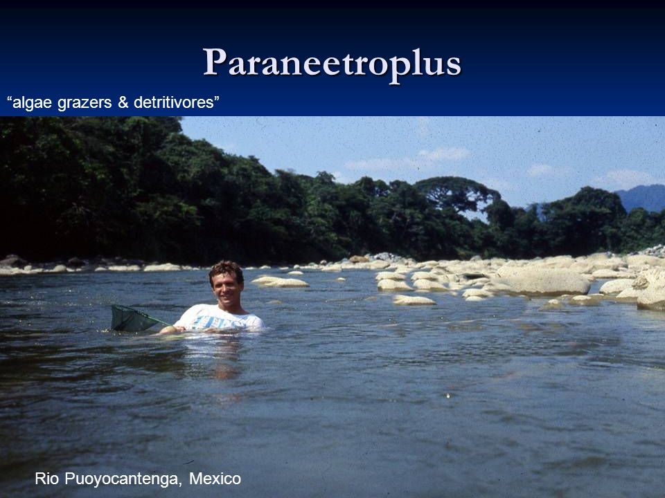 Paraneetroplus algae grazers & detritivores