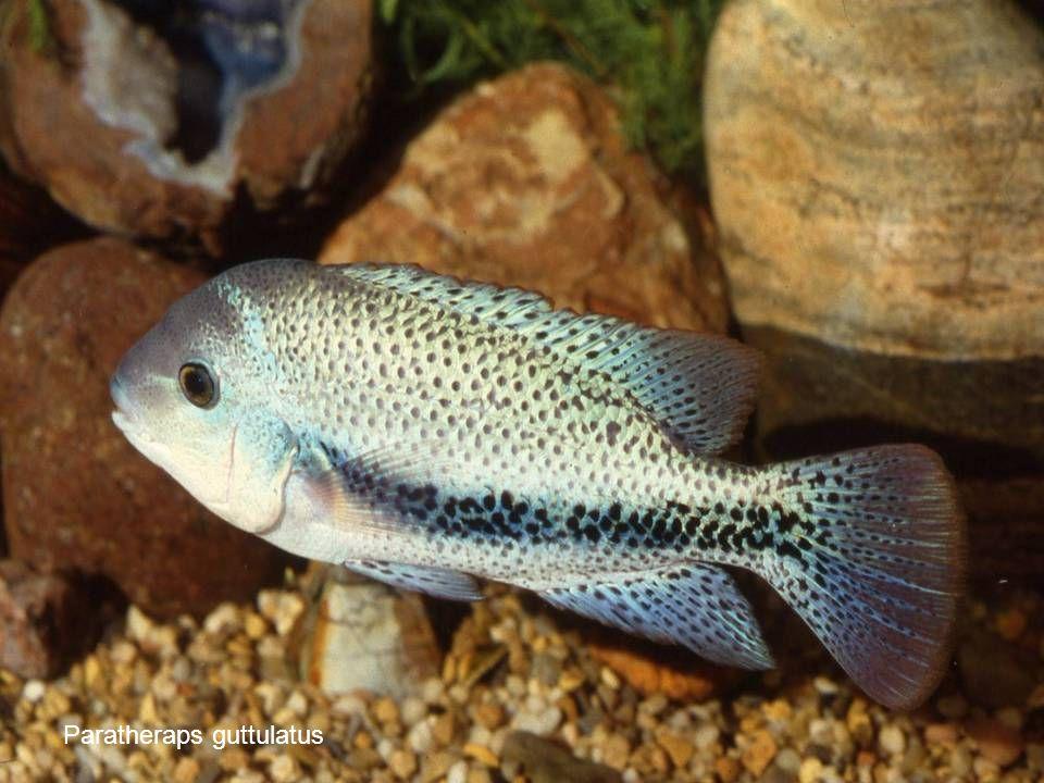 Paratheraps guttulatus