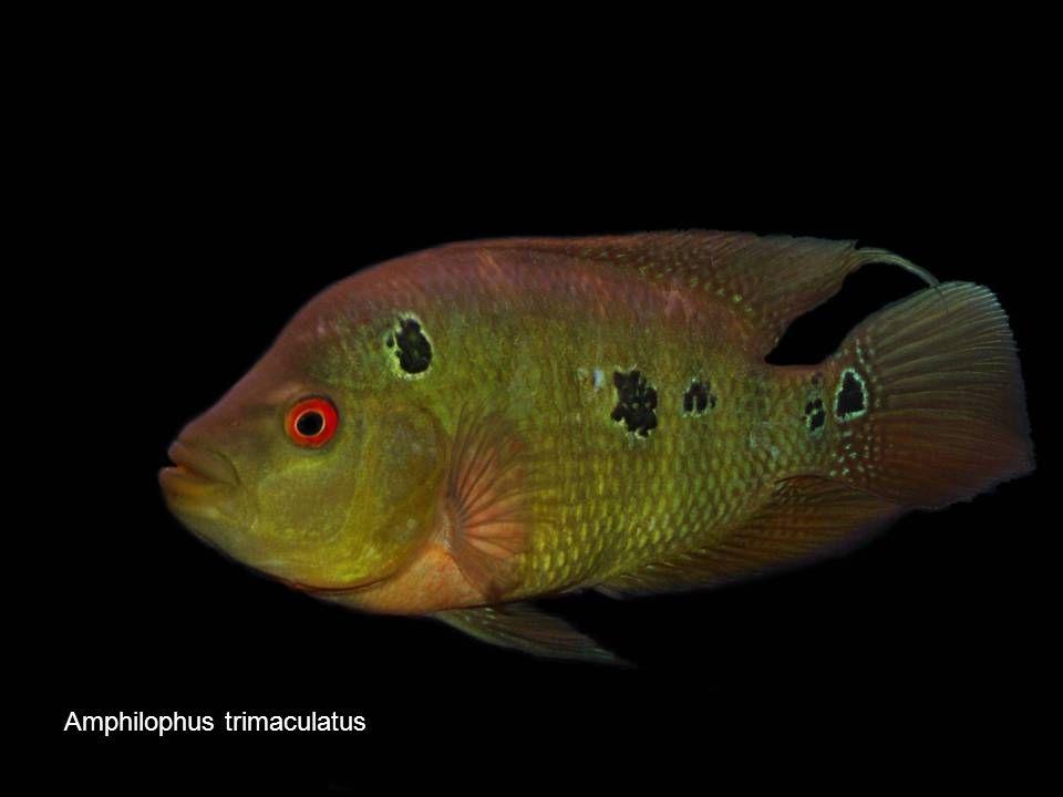 Amphilophus trimaculatus