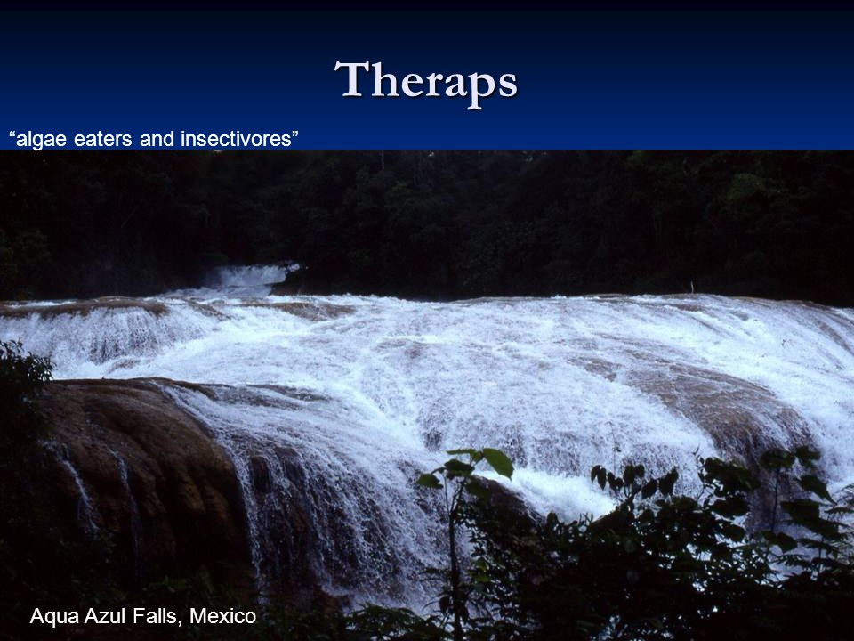 Theraps algae eaters and insectivores Aqua Azul Falls, Mexico