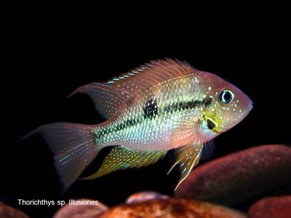 Thorichthys sp. Illusiones