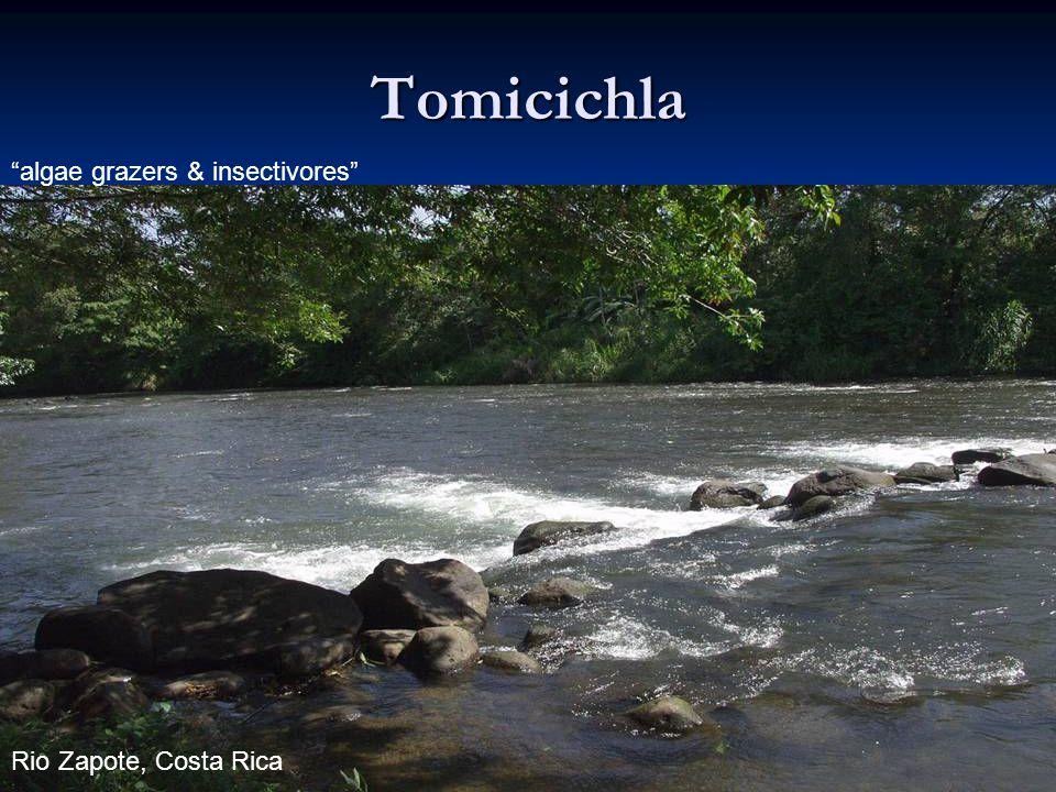 Tomicichla algae grazers & insectivores Rio Zapote, Costa Rica