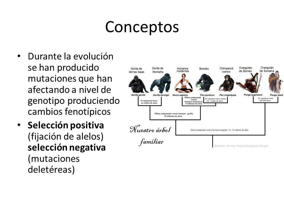Conceptos Durante la evolución se han producido mutaciones que han afectando a nivel de genotipo produciendo cambios fenotípicos.