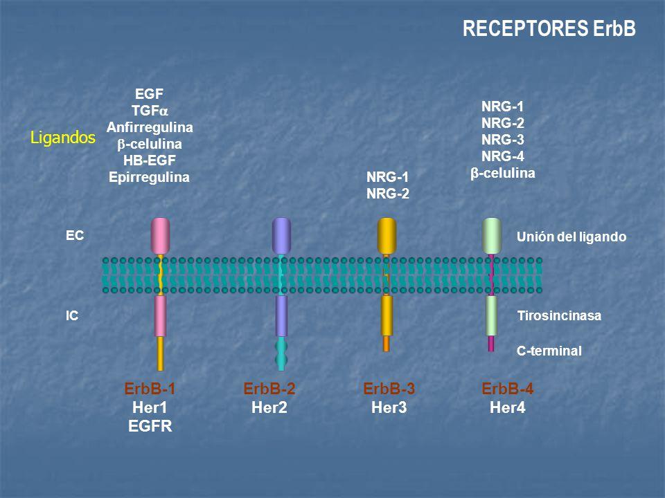 RECEPTORES ErbB Ligandos ErbB-1 Her1 EGFR ErbB-2 Her2 ErbB-3 Her3