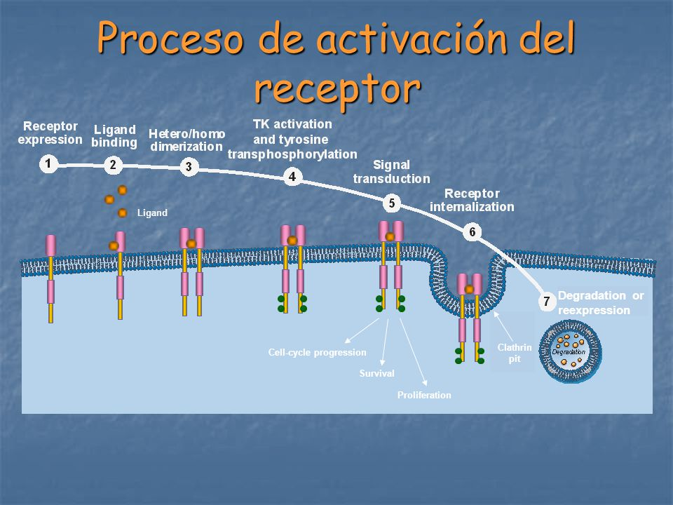 Proceso de activación del receptor