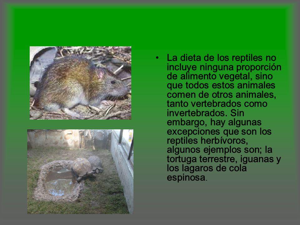 La dieta de los reptiles no incluye ninguna proporción de alimento vegetal, sino que todos estos animales comen de otros animales, tanto vertebrados como invertebrados.