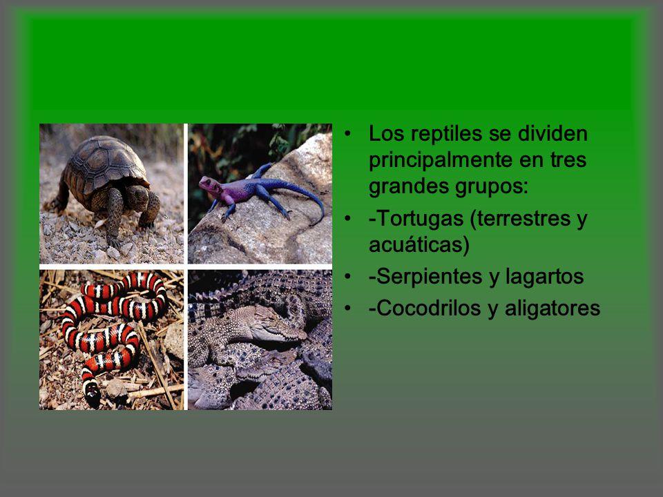 Los reptiles se dividen principalmente en tres grandes grupos: