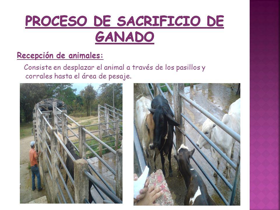 PROCESO DE SACRIFICIO DE GANADO