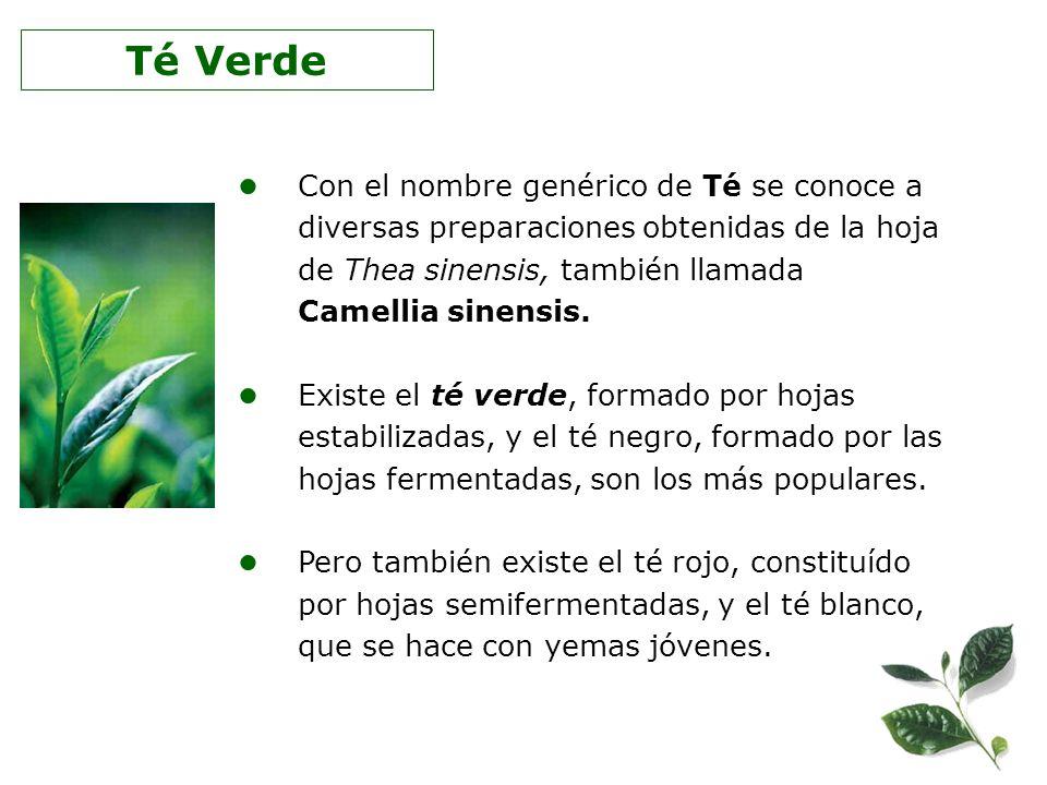 Té Verde Con el nombre genérico de Té se conoce a diversas preparaciones obtenidas de la hoja de Thea sinensis, también llamada Camellia sinensis.