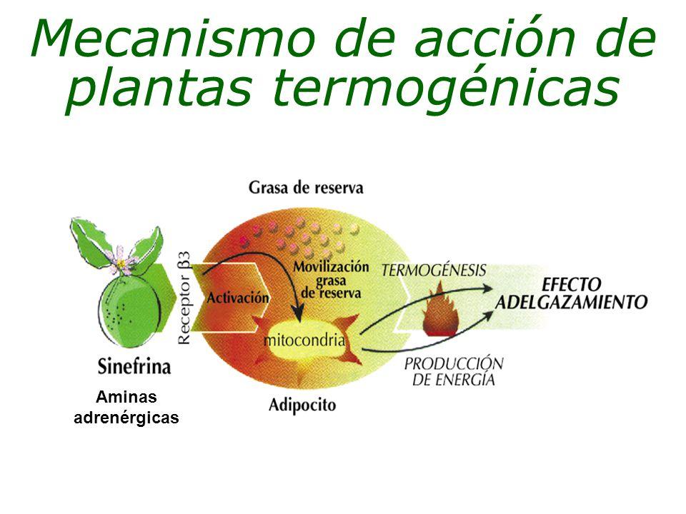 Mecanismo de acción de plantas termogénicas