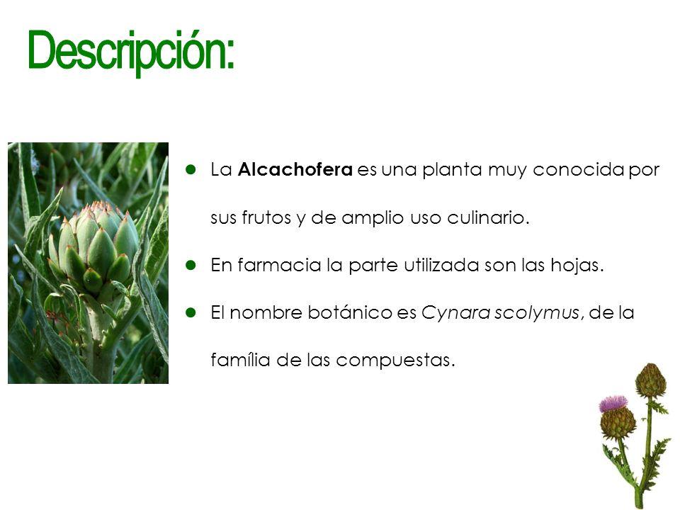 Descripción: La Alcachofera es una planta muy conocida por sus frutos y de amplio uso culinario. En farmacia la parte utilizada son las hojas.