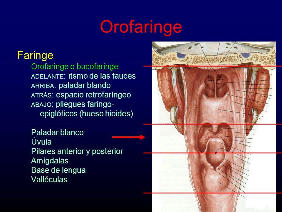 Orofaringe Faringe Orofaringe o bucofaringe
