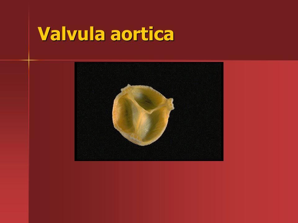 Valvula aortica