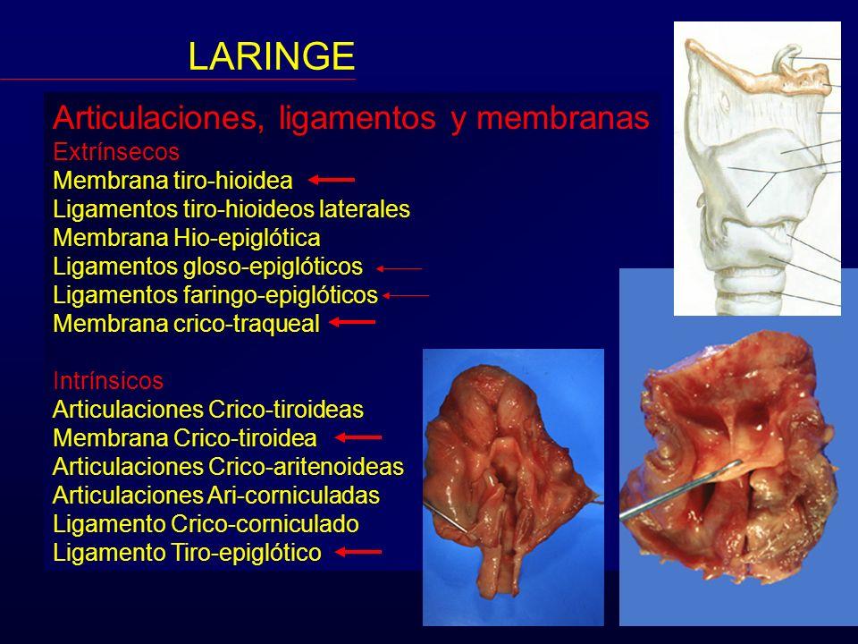 LARINGE Articulaciones, ligamentos y membranas Extrínsecos