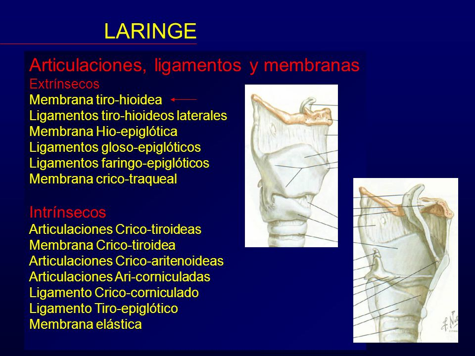 LARINGE Articulaciones, ligamentos y membranas Intrínsecos Extrínsecos