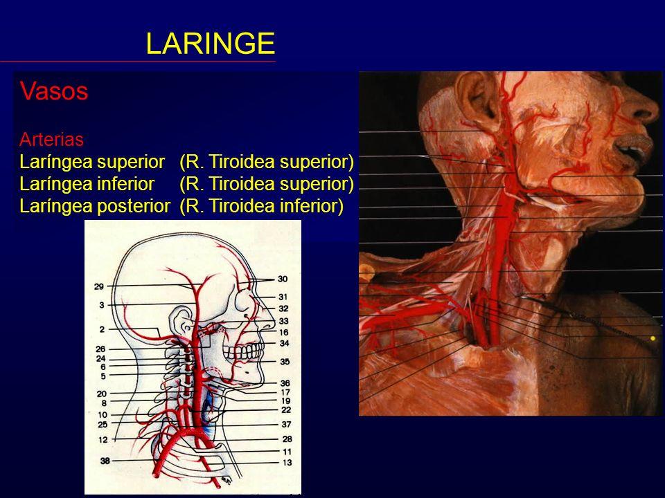 LARINGE Vasos Arterias Laríngea superior (R. Tiroidea superior)