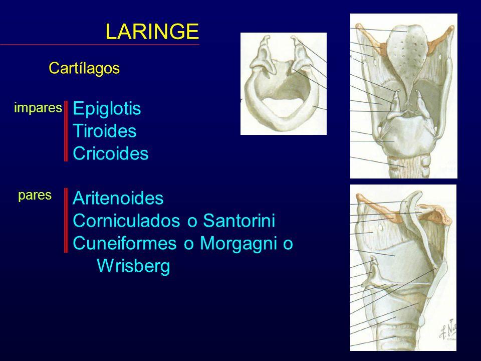 LARINGE Epiglotis Tiroides Cricoides Aritenoides