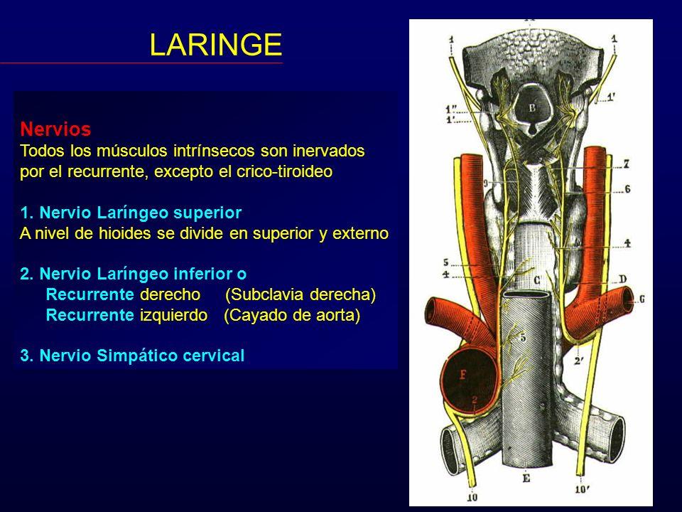 LARINGE Nervios Todos los músculos intrínsecos son inervados
