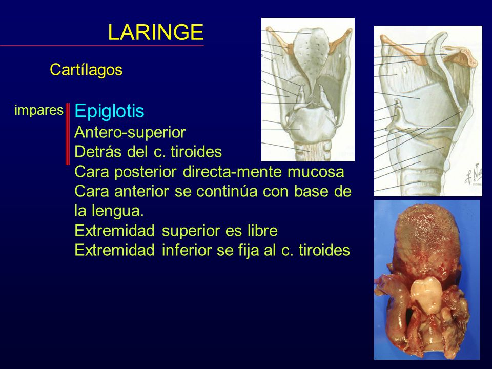 LARINGE Epiglotis Cartílagos Antero-superior Detrás del c. tiroides