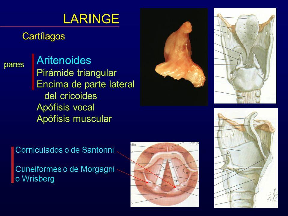 LARINGE Aritenoides Cartílagos Pirámide triangular