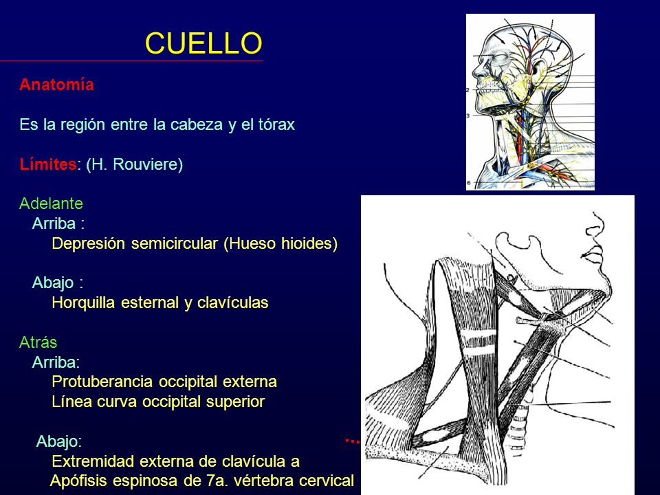 CUELLO Anatomía Es la región entre la cabeza y el tórax