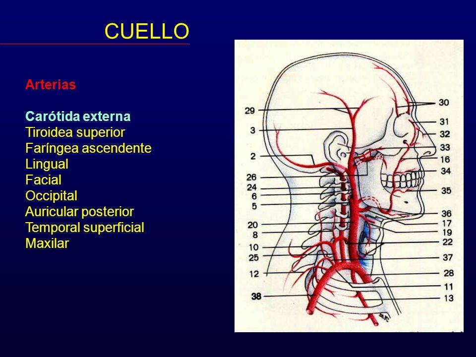 CUELLO Arterias Carótida externa Tiroidea superior Faríngea ascendente